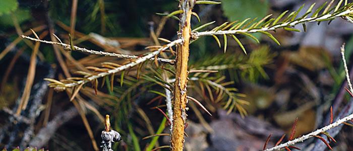 snytbaggen har gnagt på en ungplanta