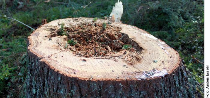 stubbe drabbad av rotröta